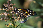 A Monarch butterfly  feeds on rag weed in a Vermont field just after emerging from it's chrysalis.