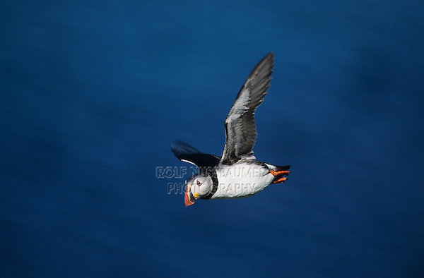 Atlantic Puffin, Fratercula arctica, adult in flight, Hornoya Nature Reserve, Vardo, Norway, Europe