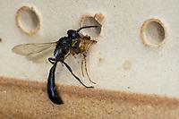 Spinnen-Grabwespe, Spinnengrabwespe, am Nistloch, Nest an einer Wildbienen-Nisthilfe, trägt eine erbeutete Spinne ins Nest ein, Beute, Töpfer-Grabwespe, Töpfergrabwespe, Töpferwespe, Holzbohrwespe, Grabwespe, Trypoxylon cf. figulus, organ pipe mud dauber, digger wasp, Crabronidae, Grabwespen, digger wasps