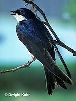 SX01-001z  Tree Swallow - singing - Tachycineta bicolor or Iridoprocne bicolor