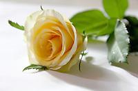 Stock image of gorgeous yellow rose on white background.