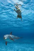 JoJo, a wild sociable bottlenose dolphin, Tursiops truncatus, or ambassador dolphin, plays with dog friend Toffee, a golden labrador, Providenciales, Turks and Caicos Islands, Caribbean Sea, (W. Atlantic Ocean)