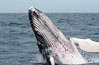 Humpback Whale Breaching in Tonga