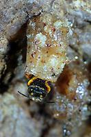 Zwergharzbiene, Zwerg-Harzbiene, Kleine Harzbiene, Nest, Nester, Neströhren aus Harz, Anthidiellum strigatum, Anthidium strigatum,