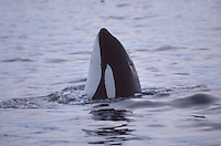 Spyhopping  Killer whale, Orcinus orca, Tysfjord, Arctic Norway, North Atlantic