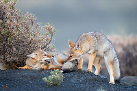 "South American gray fox (Lycalopex griseus) kits enjoying play with an edge. Per Wikipedia, this species is also known as the Patagonian fox, the chilla or the gray zorro. This is a species of Lycalopex, the ""false"" foxes. Whatever you call them, these little guys were a whirlwind of activity and extremely cute. <br />
