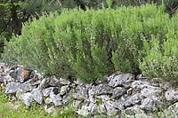 Rosmarin, Rosmarinus officinalis, Salvia rosmarinus, Rosemary, Le romarin, Trockenmauer, Natursteinmauer, Mauer, Legesteinmauer, Natural stone wall, dry stone wall, dry-wall, drywal