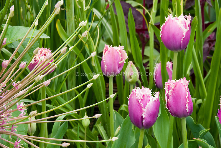 Allium schubertii with Fringed lilac Tulipa tulip, spring flowering bulbs mixed together