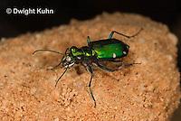 1C35-508z   Six-spotted Green Tiger Beetle - Cirindela sexguttata