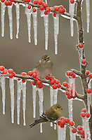 Lesser Goldfinch (Carduelis psaltria), adult female perched on icy branch of Possum Haw Holly (Ilex decidua) with berries and Chipping Sparrow (Spizella passerina), Hill Country, Texas, USA