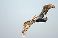 Pelican flying in shape of an S, California Brown Pelican, Pelecanus occidentalis