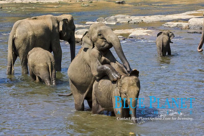 Asian or Asiatic Elephants (Elephas maximus), mating, Sri Lanka, South Asia, Asia