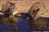 COUGAR/MOUNTAIN LION/PUMA..Four month old young drinking in rainwater pool..Near Canyonlands National Park, Utah..Autumn. (Felis concolor).