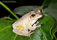 0201-0915  Cuban Treefrog (Cuban Tree Frog) on Tropical Leaf, Osteopilus septentrionalis  © David Kuhn/Dwight Kuhn Photography.