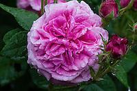 Rose 'Duc de Fitzjames'
