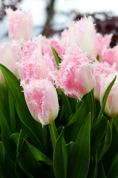 Tulip 'Huis Ten Bosch' (Fringed Group), mid May. Named after the Huis ten Bosch palace in the Hague, one of the three official residences of the Dutch royal family.