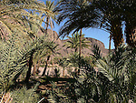 A palmeraie at the oasis at Fint in Morocco.