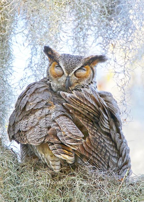 Preening Great Horned Owl