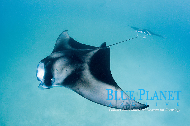 reef manta rays, Mobula alfredi feeding; ray in front has scars on left pectoral fin from apparent entanglement in fishing net or fishing line; Hanifaru Bay, Baa Atoll, Maldives, Indian Ocean