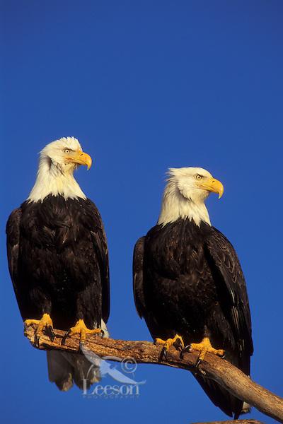 Bald Eagles (Haliaeetus leucocephalus) sitting on perch.