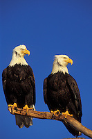 Bald Eagles (Haliaeetus leucocephalus) sitting on perch.