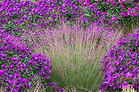 Schizachyrium scoparium, Little bluestem grass with Aster novae-angliae 'Purple Dome', in Colorado prairie garden; Scripter garden, design Lauren Springer Ogden