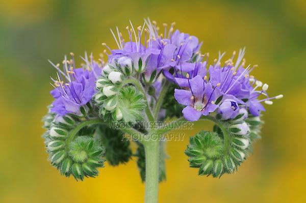Blue curls (Phacelia congesta), blossom, Fennessey Ranch, Refugio, Coastal Bend, Texas, USA