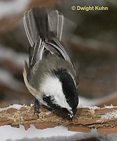 1J04-583z  Black-capped Chickadee, in winter snow,  Poecile atricapillus or Parus atricapillus