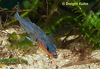 1S12-532z   Male Threespine Stickleback near plant material nest,  Mating colors showing bright red belly and blue eyes,  Gasterosteus aculeatus,  Hotel Lake British Columbia