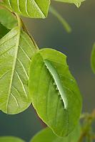 Zitronenfalter, Zitronen-Falter, Raupe frisst an Faulbaum, Gonepteryx rhamni, brimstone, brimstone butterfly, caterpillar, Le Citron