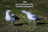 """Ring-billed gulls in confrontation with added text, """"Why can't you be more like Jonathan Livingston?""""  A reference to the early 1970s best seller, """"Jonathan Livingston Seagull""""."""