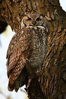Great Horned Owl, San Angelo, TX