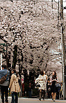 April 4, 2016, Tokyo, Japan - People stroll under fully bloomed cherry blossoms on a promenade along side of the Meguro River in Tokyo on Monday, April 4, 2016. (Photo by Yoshio Tsunoda/AFLO)