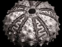 Close up of Sea Urchin shell.