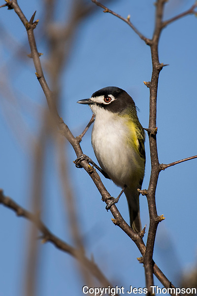 Black-capped Vireo, South Llano River State Park, Junction, TX