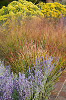 Switch grass (Panicum virgatum) flowering in fall color with yellow Chamisa Southwest grass meadow garden in autumn, Santa Fe New Mexico