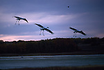 Whooping cranes in flight at sunset in Northwest Saskatchewan, Canada