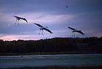 Whooping cranes in flight at sunset in Northwest Saskatchewan, Canada