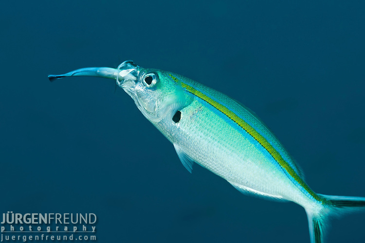 Scissortail fusilier (Caesio caerulaurea) being cleaned by a bluestreak cleaner wrasse (Labroides dimidiatus)