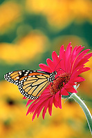 MONARCH BUTTERFLY (Danaus plexippus) uses probiscus like a straw to sip nectar from Gerbera Daisy (Gerbera jamesonii). Summer. North America.