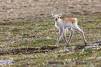 New born caribou calf of the Western arctic caribou herd, Utukok Uplands, National Petroleum Reserve Alaska, Arctic, Alaska.