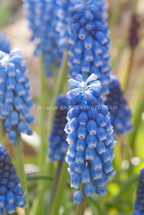 Blue Grape Hyacinth Muscari aucheri, closeup of little spring flowering bulb