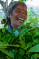 Tamil Women Tea Picker in Nuwara Eliaya, Sri Lanka