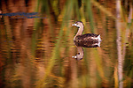 Pied-billed grebe, Florida