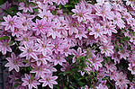 10478-CM Virgin's Bower or Vase Vine, Clematis `Nelly Moser' mass of flowers, foliage, at Newberg, Oregon
