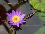 Lotus Flower - Mauve purple lotus flower on water