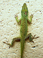 A colorful Green Anole on a backyard wall in Holly Hill, Florida,   (Photo by Brian Cleary/www.bcpix.com)
