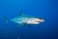 great white shark, Carcharodon carcharias, schooling, Guadalupe Island, Mexico, Pacific Ocean