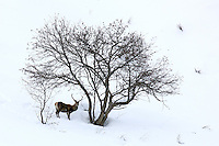 Red deer stag standing in the snow under a tree
