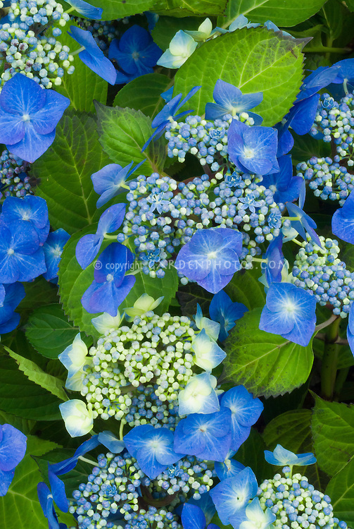 Hydrangea macrophylla lacecap 'Blaumeise' with blue flowers and buds